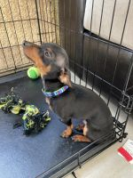 Doberman Pinscher Puppies for sale in Centennial Heights, Las Vegas, NV 89149, USA. price: NA