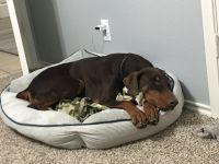 Doberman Pinscher Puppies for sale in Denton, TX, USA. price: NA