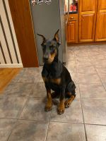 Doberman Pinscher Puppies for sale in Harrisburg, PA, USA. price: NA