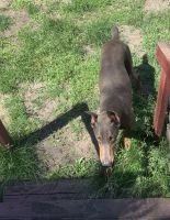 Doberman Pinscher Puppies for sale in Muskegon, MI, USA. price: NA