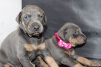 Doberman Pinscher Puppies for sale in San Francisco, CA, USA. price: NA