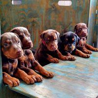 Doberman Pinscher Puppies for sale in Phoenix, AZ, USA. price: NA