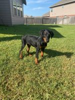 Doberman Pinscher Puppies for sale in Katy, TX, USA. price: NA