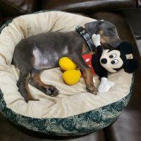 Doberman Pinscher Puppies for sale in Edinburg, TX, USA. price: NA