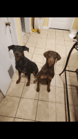 Doberman Pinscher Puppies for sale in High Point, NC, USA. price: NA