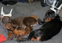Doberman Pinscher Puppies for sale in New York, NY 10012, USA. price: NA