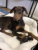 Doberman Pinscher Puppies for sale in Orem, UT, USA. price: NA