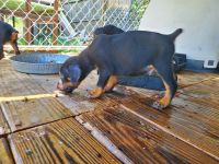Doberman Pinscher Puppies for sale in Graham, NC, USA. price: NA