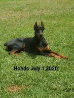 Doberman Pinscher Puppies for sale in Baton Rouge, LA, USA. price: NA