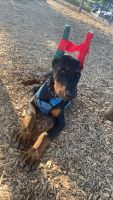 Doberman Pinscher Puppies for sale in Oceanside, CA, USA. price: NA