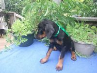 Doberman Pinscher Puppies for sale in Valley Center, KS, USA. price: NA