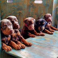 Doberman Pinscher Puppies for sale in Las Vegas, NV, USA. price: NA