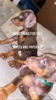Doberman Pinscher Puppies for sale in Miramar, FL, USA. price: NA