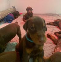 Doberman Pinscher Puppies for sale in Independence, OH, USA. price: NA