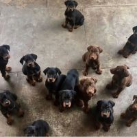 Doberman Pinscher Puppies for sale in Baltimore, MD, USA. price: NA