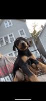 Doberman Pinscher Puppies for sale in Pilsen, Chicago, IL, USA. price: NA