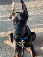 Doberman Pinscher Puppies for sale in Naperville, IL, USA. price: NA