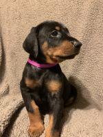 Doberman Pinscher Puppies for sale in Franklinton, LA 70438, USA. price: NA