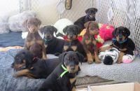 Doberman Pinscher Puppies for sale in DeKalb, IL, USA. price: NA
