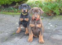 Doberman Pinscher Puppies for sale in Kentwood, MI 49512, USA. price: NA
