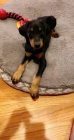 Doberman Pinscher Puppies for sale in Willowbrook, IL 60527, USA. price: NA