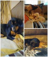 Doberman Pinscher Puppies for sale in Shady Valley, TN 37688, USA. price: NA