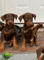 Doberman Pinscher Puppies for sale in West Hollywood, CA 90048, USA. price: NA