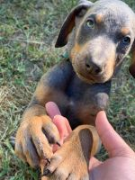 Doberman Pinscher Puppies for sale in Terre Haute, IN, USA. price: NA