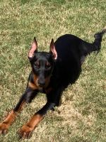 Doberman Pinscher Puppies for sale in Opelika, AL 36801, USA. price: NA