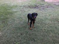 Doberman Pinscher Puppies for sale in Pico Rivera, CA 90660, USA. price: NA