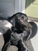 Doberman Pinscher Puppies for sale in Cincinnati, OH, USA. price: NA
