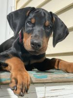 Doberman Pinscher Puppies for sale in Suffolk County, NY, USA. price: NA