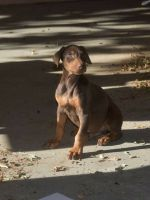 Doberman Pinscher Puppies for sale in Cathedral City, CA 92234, USA. price: NA