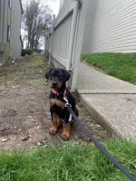Doberman Pinscher Puppies for sale in Federal Way, WA, USA. price: NA