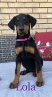 Doberman Pinscher Puppies for sale in Westminster, CO, USA. price: NA