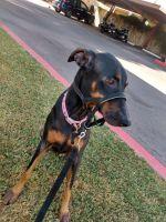 Doberman Pinscher Puppies for sale in Scottsdale, AZ 85251, USA. price: NA
