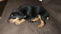 Doberman Pinscher Puppies for sale in Gallatin, TN 37066, USA. price: NA