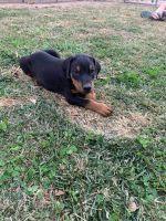 Doberman Pinscher Puppies for sale in Belleville, IL 62269, USA. price: NA