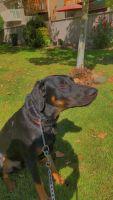 Doberman Pinscher Puppies for sale in Sacramento, CA, USA. price: NA