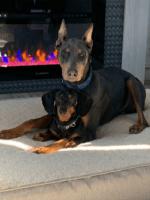 Doberman Pinscher Puppies for sale in Salt Lake City, UT, USA. price: NA