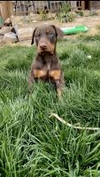 Doberman Pinscher Puppies for sale in Thornton, CO 80602, USA. price: NA