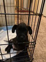 Doberman Pinscher Puppies for sale in Renton, WA, USA. price: NA