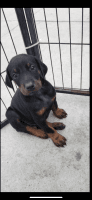 Doberman Pinscher Puppies for sale in 4030 Bell Ave, Bell, CA 90201, USA. price: NA