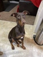 Doberman Pinscher Puppies for sale in Boise, ID, USA. price: NA
