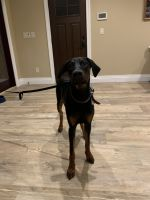 Doberman Pinscher Puppies for sale in Huntington, NY 11743, USA. price: NA
