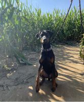 Doberman Pinscher Puppies for sale in Huntington, NY, USA. price: NA