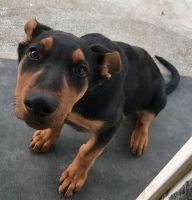 Doberman Pinscher Puppies for sale in Othello, WA 99344, USA. price: NA