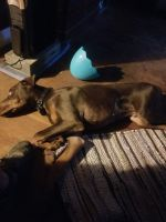 Doberman Pinscher Puppies for sale in Allentown, PA, USA. price: NA