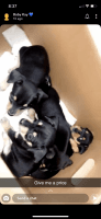 Doberman Pinscher Puppies for sale in Kissimmee, FL, USA. price: NA