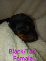 Doberman Pinscher Puppies for sale in Hinton, WV 25951, USA. price: NA